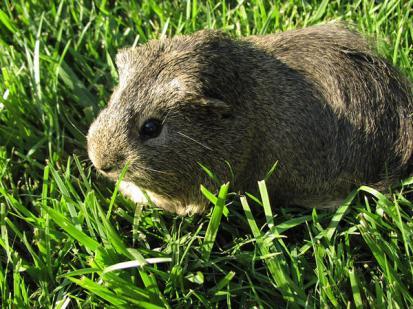 cavy_eating_grass.jpg